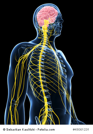 male nervous system